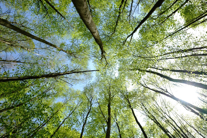 Blick von unten in Baumkronen