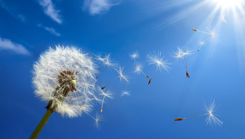Pusteblume verliert Samen durch Windstoß